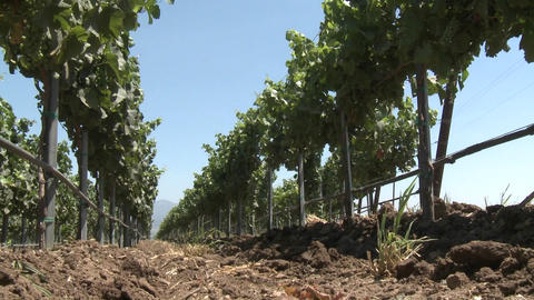 Low angle view of the wind blowing vines in Monterey County vineyard, California Footage