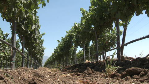 Low angle view of the wind blowing vines in Monterey... Stock Video Footage