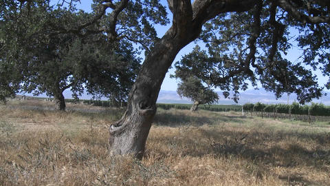 Pan across a Monterey County vineyard, California Stock Video Footage