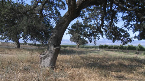Pan across a Monterey County vineyard, California Footage