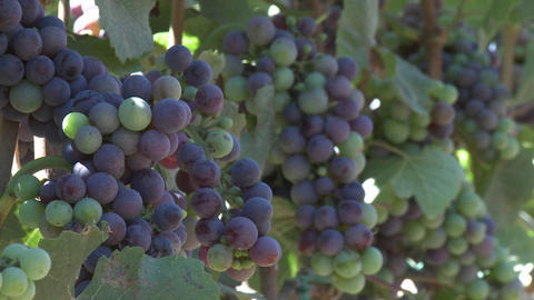 Clusters of wine grapes ripening in a Monterey County vineyard, California Footage