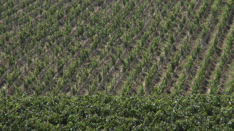 Wine blows through a vineyard in the Salinas Valley wine country, Monterey County, California Footage