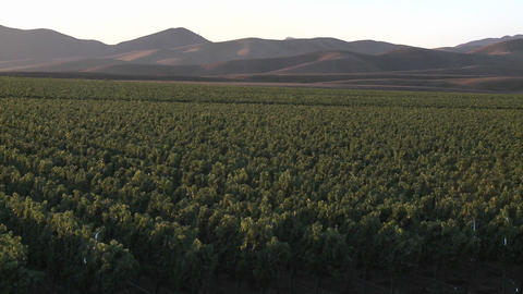 Pan across a vineyard in the Salinas Valley wine country, Monterey County, California Footage