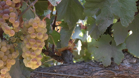 Vertical pan of wine grapes in a Salinas Valley vineyard, Monterey County, California Footage