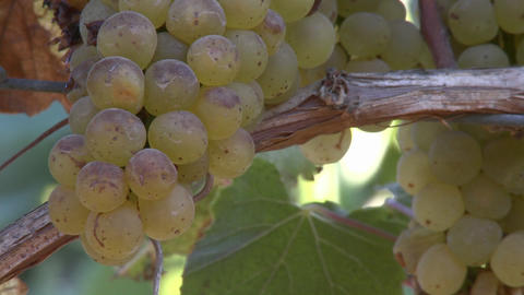 Close up of wine grapes in a Salinas Valley vineyard,... Stock Video Footage