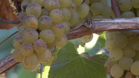 Close up of wine grapes in a Salinas Valley vineyard, Monterey County, California Footage