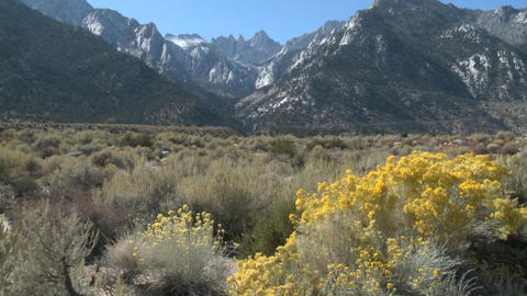 Vertical pan of golden flowers and Mt. Whitney, located above Lone Pine, California Footage