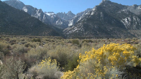 Vertical pan of golden flowers and Mt. Whitney, located... Stock Video Footage