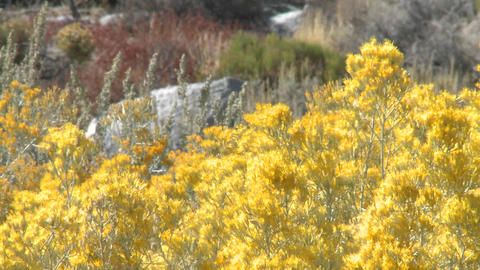 Golden flowers blow in the wind near Lone Pine, California Stock Video Footage
