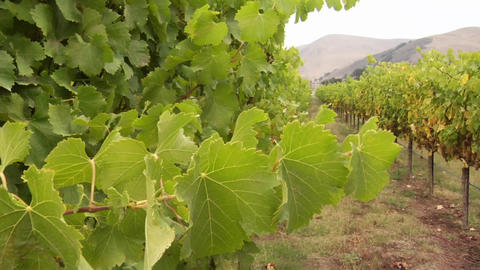 Grape vines blow in the wind at a Santa Barbara County... Stock Video Footage