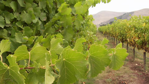 Grape vines blow in the wind at a Santa Barbara County vineyard, California Footage