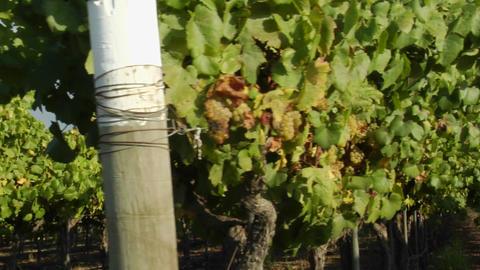 Dolly move across a row of grape vines in a Santa Barbara County vineyard, California Footage