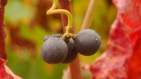 A vertical pan of red wine grapes and fall colors Footage