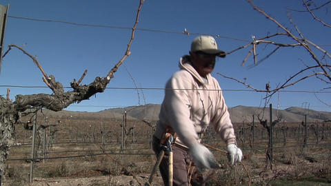 A field worker prunes dormant vines in a California vineyard Footage