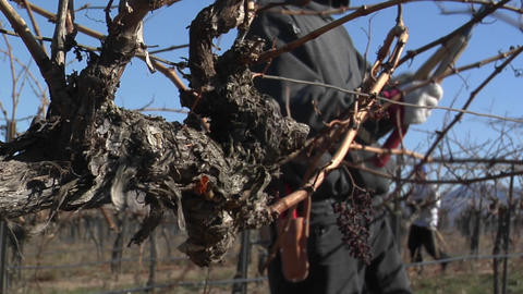 A field worker prunes dormant vines in a California vineyard Stock Video Footage