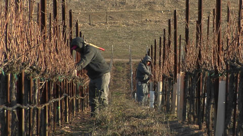 Field workers break for lunch while pruning dormant vines... Stock Video Footage