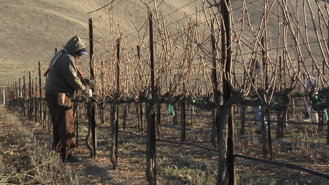 Field workers pruning dormant grape vines in a California... Stock Video Footage