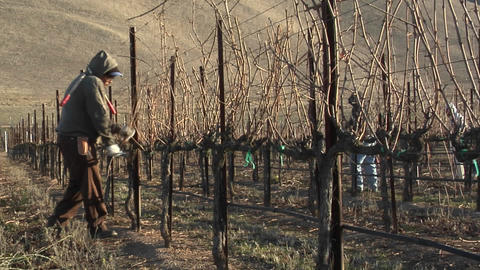 Field workers pruning dormant grape vines in a California vineyard Footage