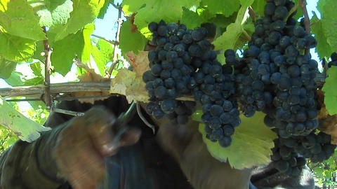 Handpicking wine grapes during harvest Footage
