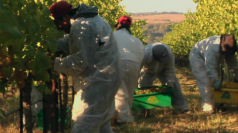 Harvesting grapes at a Santa Barbara County vineyard,... Stock Video Footage