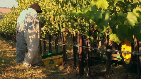 Harvesting grapes at a Santa Barbara County vineyard, California Footage