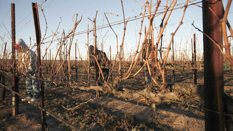 A pruning crew trims dormant vines in a California vineyard Stock Video Footage