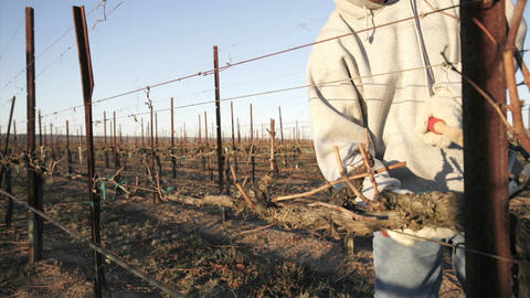A pruning crew trims dormant vines in a California vineyard Footage