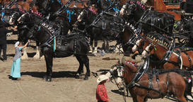 Gentile Giants Draft horses and wagons close DCI 4K 617 Footage