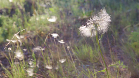 The large white dandelion Tragopogon pratensis swings in the wind and many white petals - seeds - Live Action