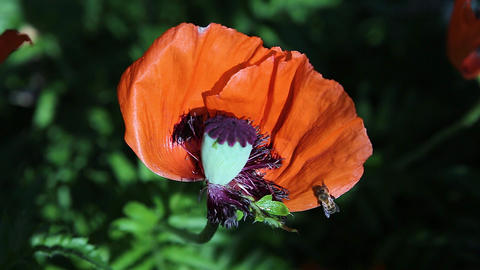 Two bees fly up to a red poppy flower with a head and crawl on it, then fly away. Close-up Live Action