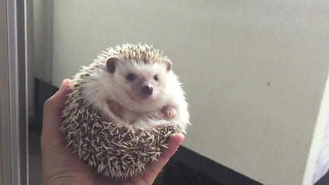 Actively move hedgehog Footage