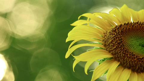 Sunflower Close Up With Space For Text And Glistening Sunlight Live Action