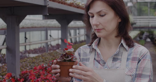 Close-up portrait of allergic Caucasian woman smelling red flower in pot. Mid Live Action
