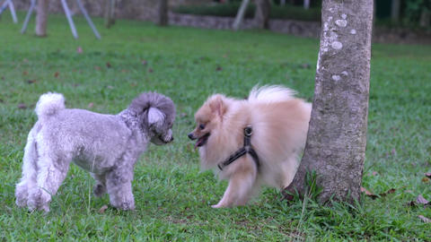 Pomeranian and Poodle dogs playing and smelling each other in the field Live Action