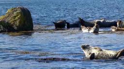 Basking Seals Footage