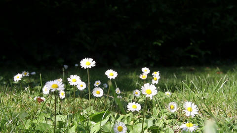 Daisies in a yard Footage
