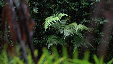 Raindrops on green ferns and falling due to wind. Beautiful nature background Live Action