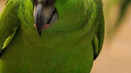 Closeup Green Parrot Turns Head Footage