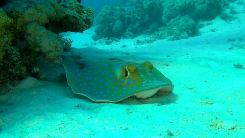 Blue Spotted Stingray Resting on the Sand in the Red Sea Footage