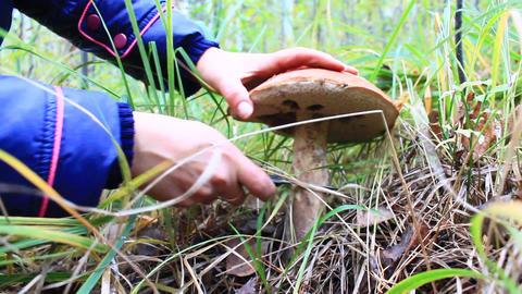 mushroomer cuts off orange-cap boletus with big cap Footage