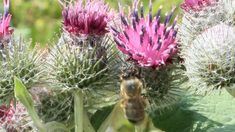 bee collects nectar on the flowers of burdock Footage