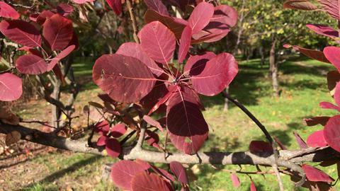 Red foliage of Cotinus coggygria Footage