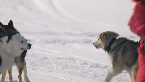 Siberian sled dogs Live Action