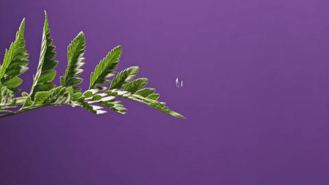Drops of water fall one drop at a house plant fern and flow down on a purple Live Action