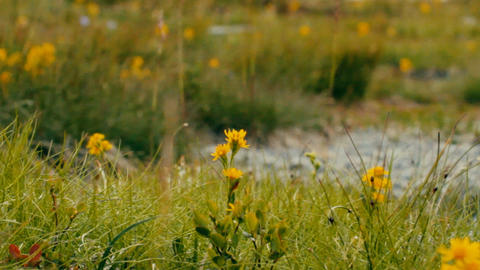 Meadow with blooming yellow flowers, flying insects Live Action