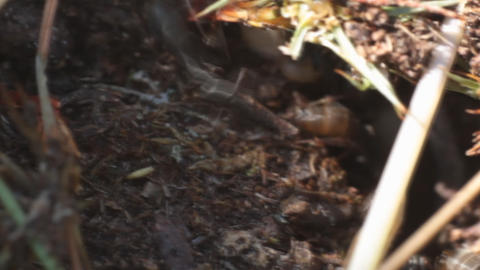 Earth ants carry larvae and eggs Live Action