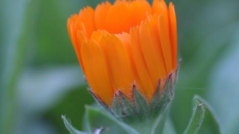 calendula flower beautiful GIF