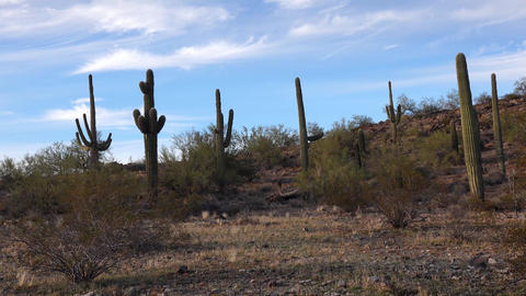 Large cacti in Arizona against a blue sky, desert landscape. Saguaro Cactuses (Carnegiea gigantea) Live Action
