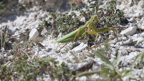 Strong female mantis makes its way through Live Action