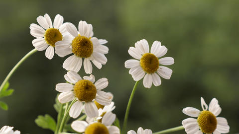 Chamomile in summer close up